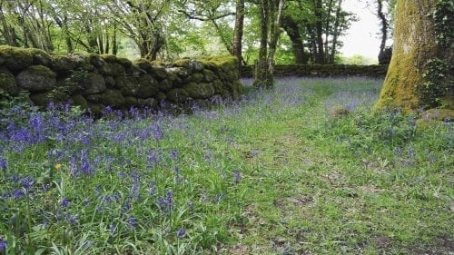 Bluebell Woods Dartmoor