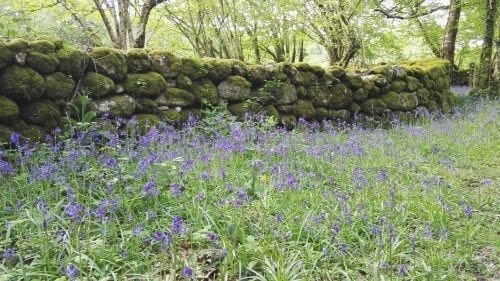 Bluebells in Dartmoor