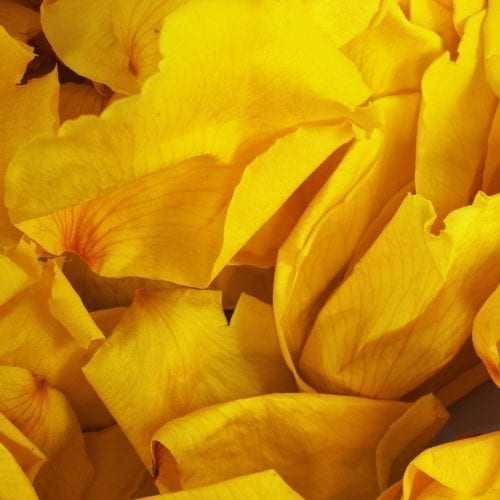 Yellow Rose Petals for a ashes ceremony